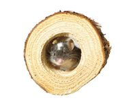 Mouse in hole. In wooden trunk stock photo