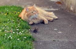 Mouse hunt cat. In the garden Royalty Free Stock Photo