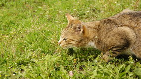 Mouse Hunt. Sneak cat hunts on the mouse Royalty Free Stock Images