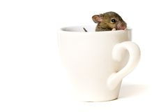 Free Mouse In Cup Stock Photography - 4127022