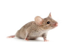 Mouse isolated on white stock photography