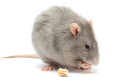 Mouse isolated on white. Background stock photos