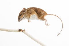Mouse killed Stock Photography