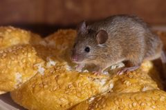 Mouse in the kitchen royalty free stock photo