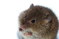 Mouse large view Stock Photo