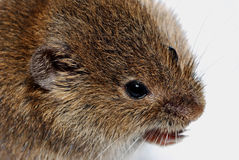 Mouse large view Royalty Free Stock Photos