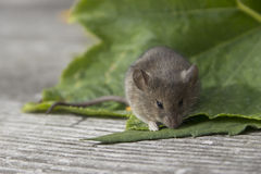 Mouse on the leaf. Little mouse sitting on the green leaf Stock Image