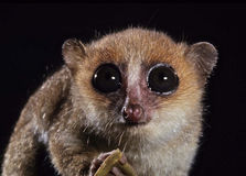 Mouse lemur. The mouse lemur , Microcebus murinus, is considered the smallest primate in the world Stock Images