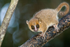 Mouse Lemur Royalty Free Stock Photos
