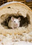Mouse in a loaf royalty free stock image