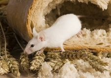 Mouse in a loaf Royalty Free Stock Photos