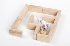 Mouse in maze looking for cheese. Smart mouse in maze looking for cheese Royalty Free Stock Images