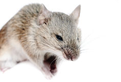 Mouse .Micromys minutus, studio shot. Isolated on white stock images