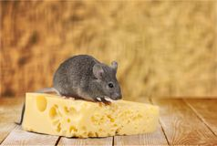 Mouse. Cheese incentive food swiss cheese rodent pets stock images