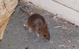 Mouse. The mouse is a pest in the house. Mouse nibbles close-up. Concept of home rodent pests .