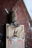 Mouse in a mousetrap Stock Images