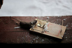 Mouse in a mousetrap Stock Photography