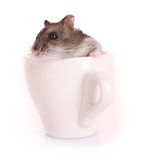 Mouse in a mug Stock Photo