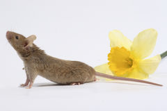 Mouse with nartsis Stock Photos