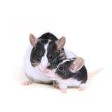 Mouse nell'amore 2 Fotografia Stock Libera da Diritti