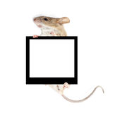 Mouse nelle zampe di una tenuta del blocco per grafici Fotografia Stock