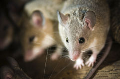 Mouse in the nest. Close-up of two darker-Cairo spiny mice (acomys cairo spiny mouse) towards the camera; Sharp blur contrast royalty free stock images