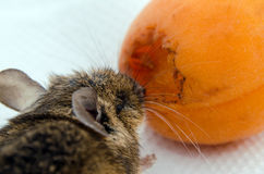 Mouse nibbling apricot. A brown house mouse, latin name mus musculus, nibbling an apricot Stock Image