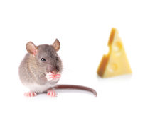 Mouse nibbling some cheese Stock Photos
