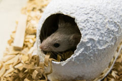 Mouse and paper house. Head of a mouse appearing from a paper house a paper house a paper house Stock Image