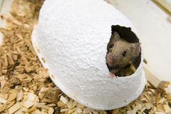 Mouse and paper house. Head of a mouse appearing from a paper house Stock Photography
