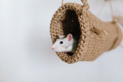 Mouse peeking out of the tunnel knitted on a white background. Cute Husky Stock Photos