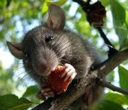 Mouse On Plumtree [2] Stock Photography