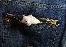 Mouse in a pocket. White mouse in a jeans pocket royalty free stock image