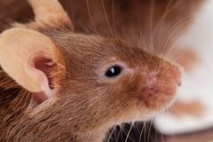 Mouse portret Royalty Free Stock Photos