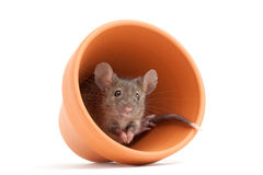 Mouse in pot isolated Stock Photo