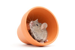 Mouse and pot isolated on white Royalty Free Stock Photography