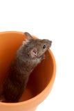 Mouse in POT isolato su bianco fotografia stock