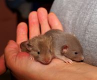 Mouse, Rat, Fauna, Muridae Stock Photo