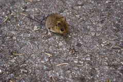 Mouse on road Royalty Free Stock Image