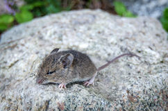 Mouse on a rock Stock Images