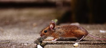 Mouse, Rodent, Cute, Mammal, Nager Royalty Free Stock Image