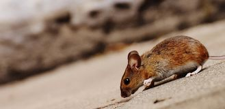 Mouse, Rodent, Cute, Mammal, Nager Stock Image