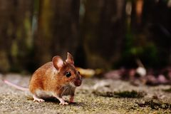Mouse, Rodent, Cute, Mammal, Nager Stock Images
