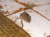 Mouse running on the floor Royalty Free Stock Image