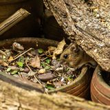 Mouse in search of food stock photo