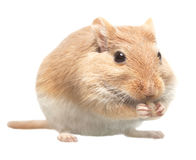 The mouse sits and eats sunflower seeds Stock Image