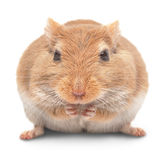 Mouse sits and eats Royalty Free Stock Photo