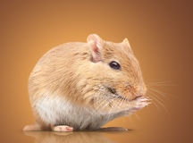 The mouse Royalty Free Stock Images