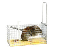 The mouse sits in a mousetrap. Isolated. Stock Photography