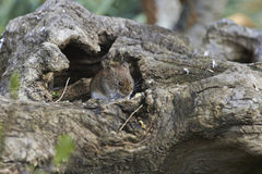 A mouse sits in a tree root Royalty Free Stock Photos